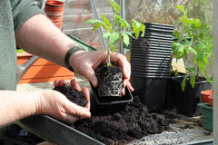 Repotting tomato plants. Hands re potting a tomato plant into a larger pot. The tomato plants root system can be seen Royalty Free Stock Images