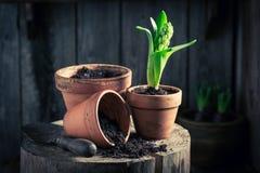 Repotting um açafrão verde e um solo escuro fértil Foto de Stock