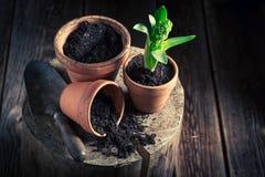 Repotting um açafrão verde e uns potenciômetros de argila velhos Foto de Stock