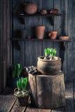 Repotting um açafrão verde em uma vertente de madeira velha Foto de Stock Royalty Free