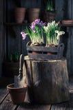 Repotting um jacinto colorido em uma caixa de madeira velha Foto de Stock Royalty Free