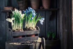 Repotting um jacinto colorido em uma oficina de madeira velha Imagens de Stock Royalty Free