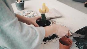 Repotting und um Kaktus-Reihe kümmernd stock video