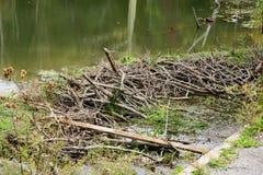 Represa do castor em uma lagoa da montanha imagem de stock