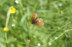 The representative of Lepidoptera in the vicinity of the city of Tver Royalty Free Stock Image