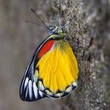 Representative species of butterflies in Nepal Royalty Free Stock Image