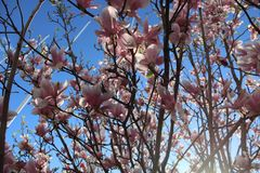 Tree with pink flowers - Magnolia royalty free stock photography