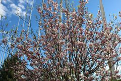 Tree with pink flowers - Magnolia stock photos