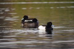 Ring-necked ducks on a pond... stock images