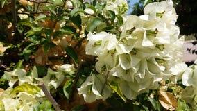 Represente as flores da buganvília que olham saudáveis e brilhantes imagens de stock
