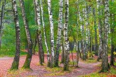 Represente muchos árboles de abedul en parque Foto de archivo