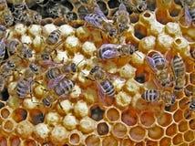 Reprodução das abelhas. Imagem de Stock