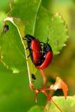Reprodução vermelha dos besouros de folha Imagens de Stock Royalty Free
