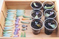 Reproductie van succulents door bladeren royalty-vrije stock foto's