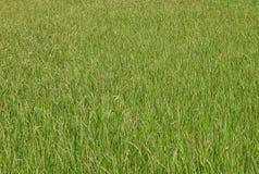 Reproductief stadium van groene padie royalty-vrije stock foto's