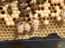 Reproduction of bee queens stock photography