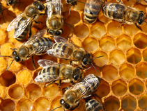 Reproduction of Bees Stock Photo