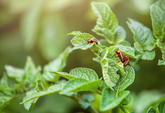 Reproduction of the Colorado potato beetle. Three Colorado beetle sitting on potato leaves. Royalty Free Stock Images