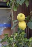 Reproduction de livre botanique de cru C'a été rentré un pot Il y a deux citrons jaunes image libre de droits