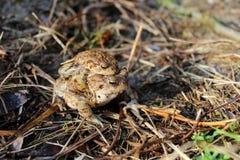 Reproduction des grenouilles d'amphibies images libres de droits