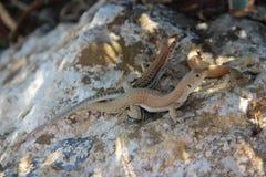 Reproduction des lézards dans le sauvage Photos libres de droits