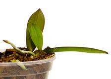 Reproduction des orchidées, orchidée d'élevage, maison faisant du jardinage, d'isolement sur le blanc Photographie stock libre de droits