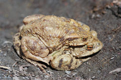 Reproduction of the frogs - mating of toads Stock Photos