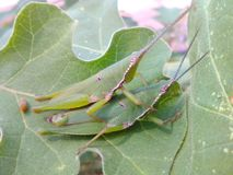 Animals nature. Two insects on leaf Royalty Free Stock Photo
