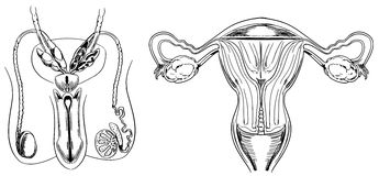 Reproduction. Male and female reproduction system Stock Image