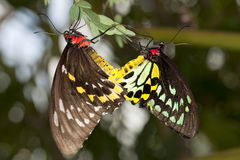 Reproduction: Mating Butterflies Royalty Free Stock Photo
