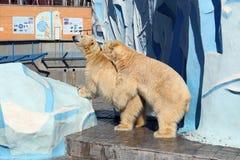Reproduction of polar bears at the Novosibirsk zoo. Novosibirsk, RUSSIA - APRIL 13, 2017: Mating polar bears in the zoo on a spring day stock photos