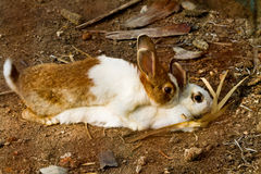 Reproduction of rabbit. Reproduction of couple rabbit on ground royalty free stock images