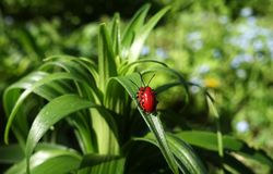 Reproduction of red lily beetle. In spring on a lily flower royalty free stock images