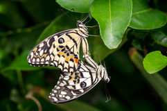 Reproduction sexuelle des papillons en nature Photos stock