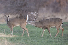 Reproduction Stage of Whitetail Deer. Huge Whitetail Buck at beginning stage of deer reproduction with receptive female doe stock image