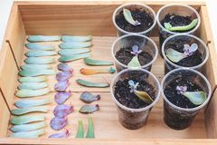 Reproduction of succulents by leaves. Reproduction of succulents by leaves in plastic glasses royalty free stock photos