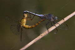 Reproduction of two wild yellow  blue  dragonfly Royalty Free Stock Photo