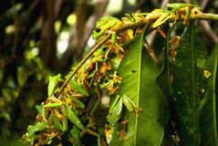 Reproductive explosion of Gliding leaf frog Royalty Free Stock Photo