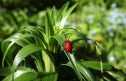 Reproduktion av den röda liljaskalbaggen royaltyfria bilder