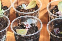 Reproduktion av suckulenter vid sidor arkivfoto