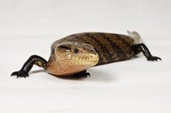 Reptiel in actie. Stock Foto's