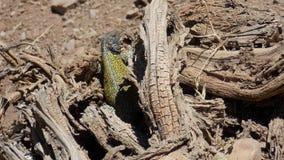 Reptiel die een sunbath nemen Royalty-vrije Stock Foto's