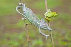 Reptiel, dieren, kameleon, kikker, boomkikker, korte en dikke kikker, Stock Foto's