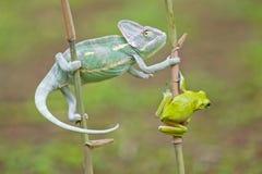 Reptiel, dieren, kameleon, kikker, boomkikker, korte en dikke kikker, Royalty-vrije Stock Foto's