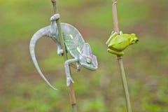Reptiel, dieren, kameleon, kikker, boomkikker, korte en dikke kikker, Royalty-vrije Stock Afbeeldingen