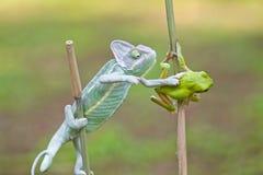 Reptiel, dieren, kameleon, kikker, boomkikker, korte en dikke kikker, Royalty-vrije Stock Foto