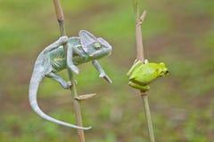 Reptiel, dieren, kameleon, kikker, boomkikker, korte en dikke kikker, Royalty-vrije Stock Afbeelding