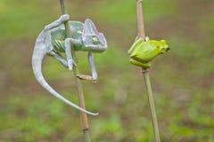 Reptiel, dieren, kameleon, kikker, boomkikker, korte en dikke kikker, Stock Foto