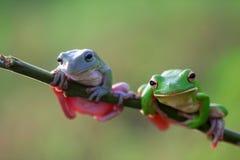Reptiel, dieren, kikker, boomkikker, korte en dikke kikker, stock foto's