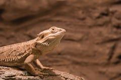 Reptiel Gebaarde Agama Stock Afbeelding